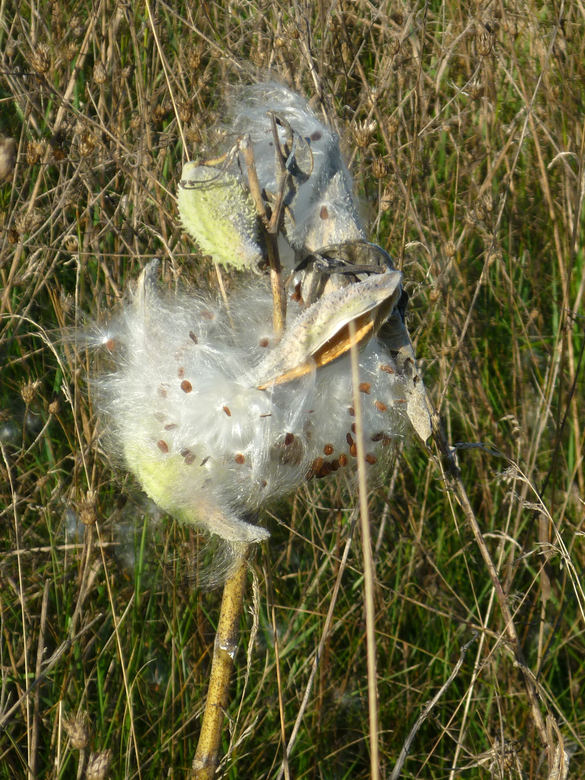 Milkweed Puffs – Seed Pods Beaking Open Indoors and Out
