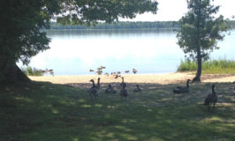 Canadian Geese Say Hello – Camping in Michigan's Upper Peninsula